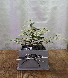 무늬 벤자민고무나무