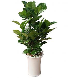 떡갈잎 고무나무